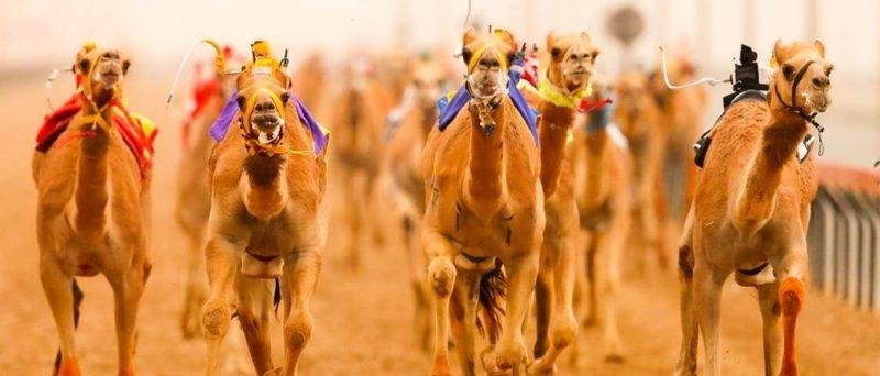 Camel Racing Club Dubai
